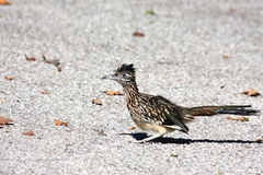 Roadrunner Bird on Road. A roadrunner bird sits in the middle of the road, crouched down and about to run royalty free stock image