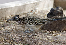Roadrunner bird. Sits on the ground alone royalty free stock photography