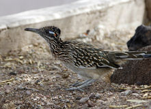 Roadrunner bird. Sits on the ground alone stock photo