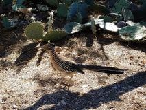 A roadrunner blending. In with his surroundings stock image