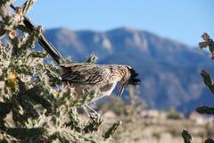 Roadrunner in Cactus Royalty-vrije Stock Afbeeldingen