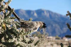 Roadrunner In Cactus Royalty Free Stock Images