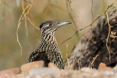 Roadrunner Close Up Portrait royalty free stock photography