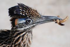 Roadrunner com Superworms - close up imagem de stock