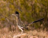 roadrunner de chasse de crépuscule Photo libre de droits