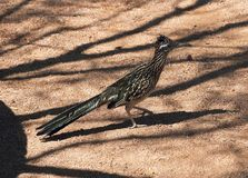 The roadrunner, a desert bird. The photo was taken in Arizona. The roadrunner is a large, black-and-white, mottled ground bird with a distinctive head crest. It royalty free stock photography