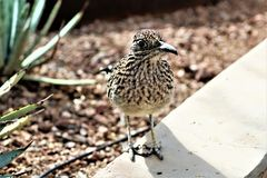Roadrunner Desert Botanical Garden Phoenix, Arizona, United States. Roadrunner bird at the Desert Botanical Garden during the winter located in Phoenix, Arizona royalty free stock images