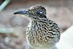 Roadrunner Desert Botanical Garden Phoenix, Arizona, United States. Roadrunner bird at the Desert Botanical Garden during the winter located in Phoenix, Arizona royalty free stock photo