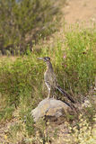 Roadrunner in Desert. A roadrunner pauses on a rock to look for prey royalty free stock images