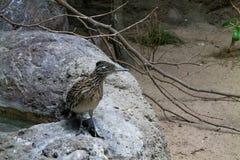 Roadrunner die zich op een rots bevinden stock afbeeldingen
