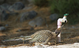A Roadrunner drinking tap water. In Death Valley National Park royalty free stock photo