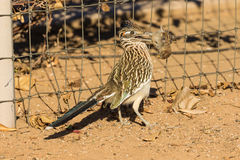 Roadrunner Eating a Bird. A roadrunner eating a freshly killed sparrow royalty free stock image