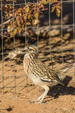Roadrunner Eating a Bird. A roadrunner eating a freshly killed sparrow royalty free stock photo