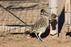 Roadrunner Eating its Prey Stock Photos