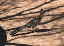 Roadrunner, een woestijnvogel royalty-vrije stock fotografie