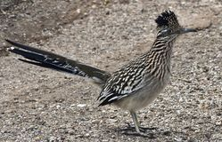 A Roadrunner in Tucson, Arizona. A Roadrunner genus Geococcyx, also known as chaparral birds or chaparral cocks, are found in the southwestern United States and stock images