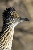 roadrunner geococcyx californianus большой Стоковое Изображение