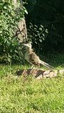 Roadrunner. A roadrunner hanging out royalty free stock images