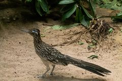 Roadrunner on the hunt for food. Roadrunner looking at pray standing on sand with leaves in the background royalty free stock photo