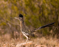 Roadrunner hunting at dusk
