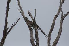 Roadrunner i ett träd arkivfoton