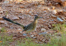 Roadrunner Stock Photos