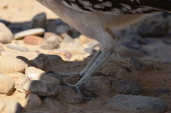 Roadrunner Legs Royalty Free Stock Image