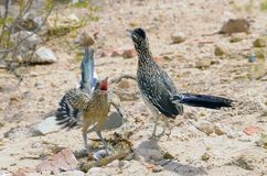 Roadrunner Mating Dance. Roadrunner couple performing a mating dance royalty free stock photos