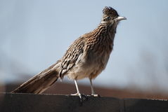 Roadrunner na parede Fotos de Stock Royalty Free