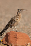 Roadrunner na rocha Fotos de Stock Royalty Free