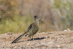Roadrunner no deserto do Arizona fotografia de stock