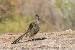 Roadrunner no deserto do Arizona imagens de stock royalty free