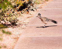 Roadrunner o Arizona fotografia de stock royalty free