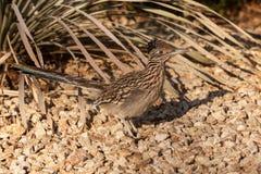 Roadrunner. A roadrunner pauses in the desert to look for prey stock image