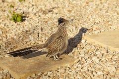 Roadrunner in Gravel. A roadrunner pauses on some gravel to look for prey royalty free stock photo