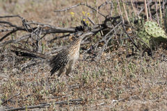 Roadrunner poised and looking for prey. Greater Roadrunner highly alert and searching for prey Royalty Free Stock Photography
