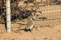 Roadrunner With Prey in Beak Stock Images