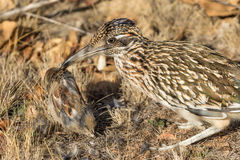 Roadrunner With prey royalty free stock photos