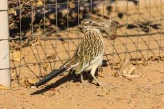 Roadrunner que come um pássaro imagem de stock royalty free