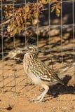 Roadrunner que come um pássaro foto de stock royalty free