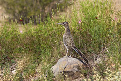 Roadrunner on Rock in Desert. A roadrunner pauses on a rock to look for prey royalty free stock images