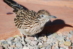 Roadrunner in Rockscape Yard Stock Photography