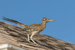 Roadrunner on Roof Royalty Free Stock Images