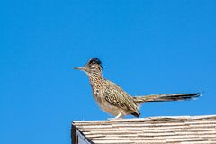 Roadrunner on Rooftop. A roadrunner on the roof of a house in Arizona stock images