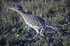 Roadrunner Running Stock Photography