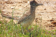 Roadrunner 4 Royalty Free Stock Photography