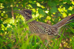 Roadrunner1 Royalty Free Stock Photos