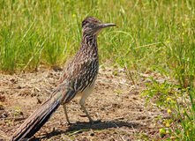 Roadrunner 5 Stock Images