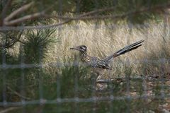 Roadrunner seen through fence Stock Photo