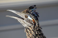 Roadrunner in Shock Stock Images